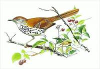 Brown-Thrasher5