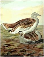 Great-Bustard
