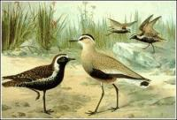Greater-Sand-Plover