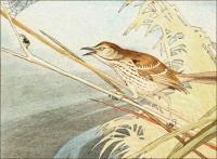brown-thrasher2