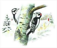 Downy-Woodpecker