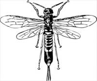 horn-tail-wasp