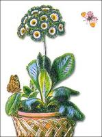 Auricula-potted
