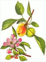 apple-and-blossom