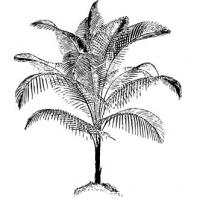 miniature-coconut-palm-BW
