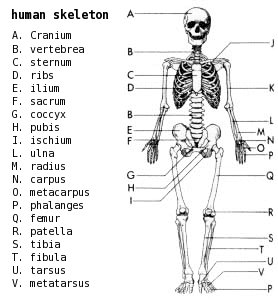 Free Skeleton-labeled Clipart - Free Clipart Graphics ...