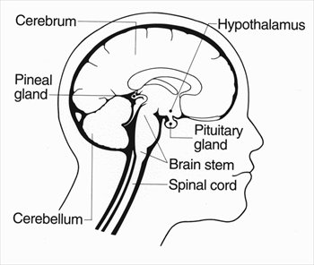 free brain diagram 1 clipart free clipart graphics images and