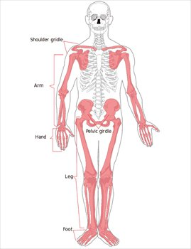 Appendicular-skeleton-diagram