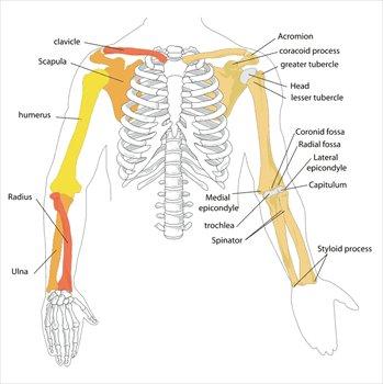 Skeleton Arm Bones Diagram - DIY Enthusiasts Wiring Diagrams •