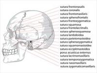 Human-skull-side-suturas-right