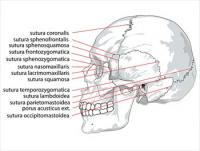 Human-skull-side-suturas