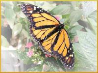 butterfly-image