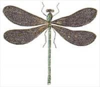black-wing-dragonfly