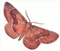 barred-red-Ellopia-fasciaria