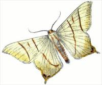 swallow-tailed-moth-Ouraptern-sambucaria