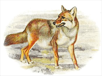 Free coyote Clipart - Free Clipart Graphics, Images and ...