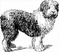 sheepdog-BW-sketch