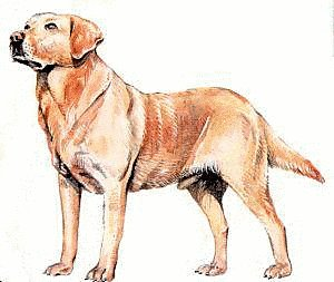 Free Labrador-Retriever Clipart - Free Clipart Graphics ...