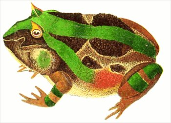 horned-frog-female