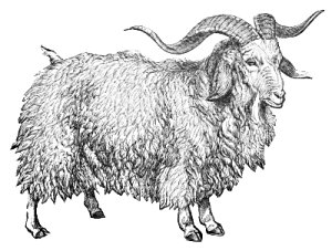 Free Angora Goat Clipart Free Clipart Graphics Images