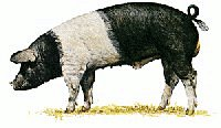 Free Saddleback-Pig Clipart - Free Clipart Graphics, Images and ...
