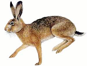 Brown-Hare