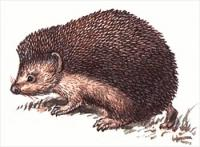 Daurian-hedgehog