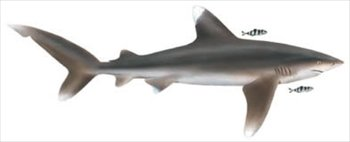 Oceanic-Whitetip-Shark