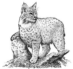 free bobcat clipart free clipart graphics images and photos rh freeclipartnow com bobcat head clipart bobcat head clipart
