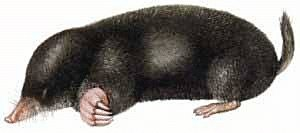 Free Mole Clipart - Free Clipart Graphics, Images and ...